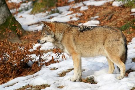 vlk-dravy--5-